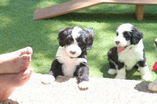 Portuguese Water Dog Puppies for sale in Los Angeles, CA, USA. price 1200USD