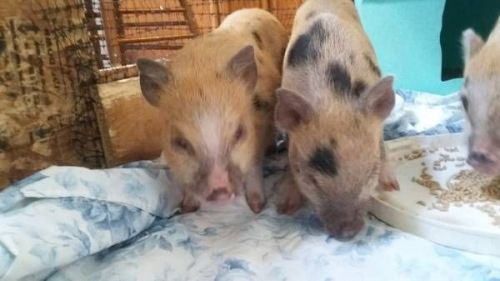 Pot Belly Pig Animals for sale in Swanton, OH 43558, USA. price 200USD