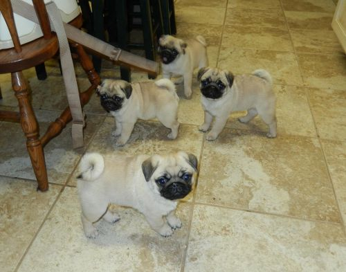 Pug Puppies for sale in Houston, TX, USA. price 500USD