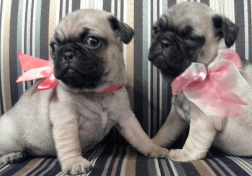 Pug Puppies for sale in Austin, TX, USA. price -USD