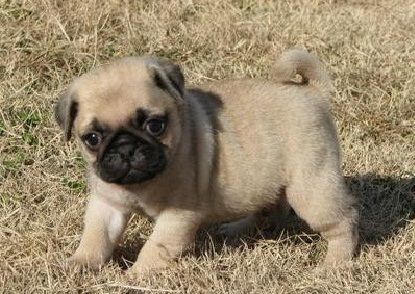 Pug Puppies for sale in Wahpeton Indian School, Wahpeton, ND 58075, USA. price 300USD