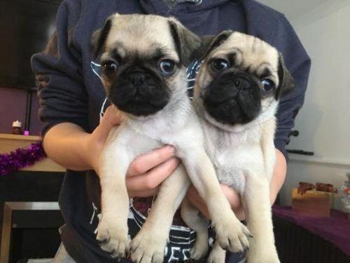 Pug Puppies Sale | Virginia Beach Boulevard, VA #5561