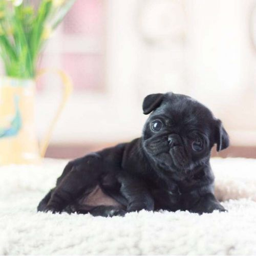 Pug Puppies for sale in Mutual, OK 73853, USA. price 500USD