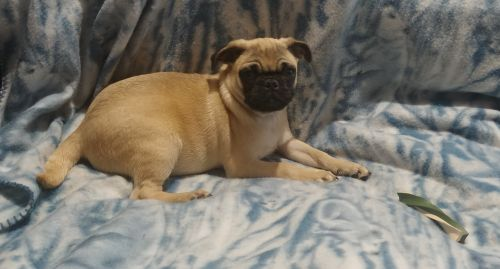 Pug Puppies for sale in Athens, WI 54411, USA. price 800USD