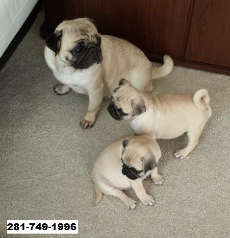 Pug Puppies for sale in Houston, TX 77077, USA. price -USD