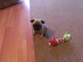 Pug Puppies for sale in DeKalb, IL, USA. price 1000USD