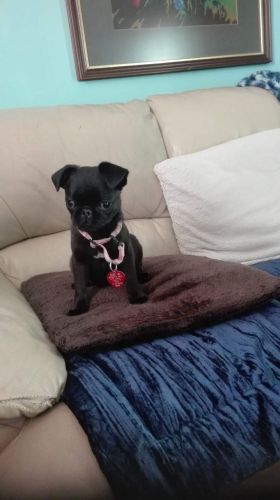 Pug Puppies for sale in Los Angeles, CA, USA. price 600USD