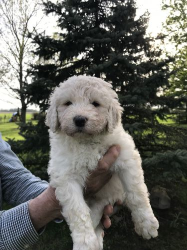 Pyredoodle Puppies for sale in Ansonia, OH 45303, USA. price 1000USD
