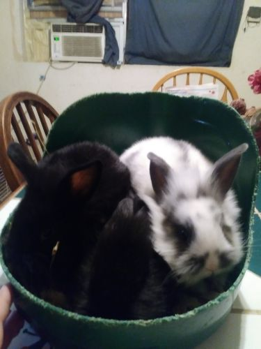 Rabbit Rabbits for sale in Willis, TX, USA. price 5USD