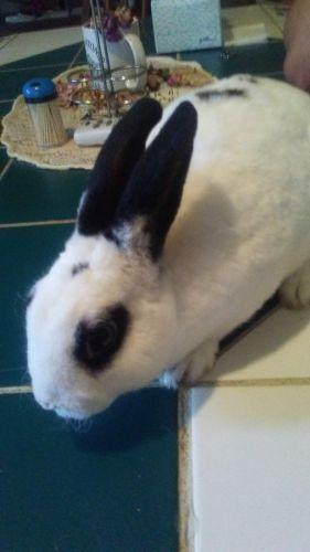 Rabbit Rabbits for sale in Willis, TX, USA. price 10USD