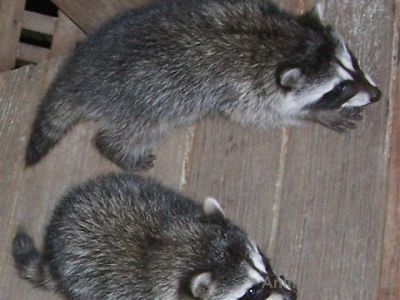 Raccoon Animals for sale in Atlanta, GA, USA. price 350USD