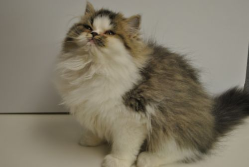 Ragamuffin Cats for sale in Brookings, OR 97415, USA. price 750USD