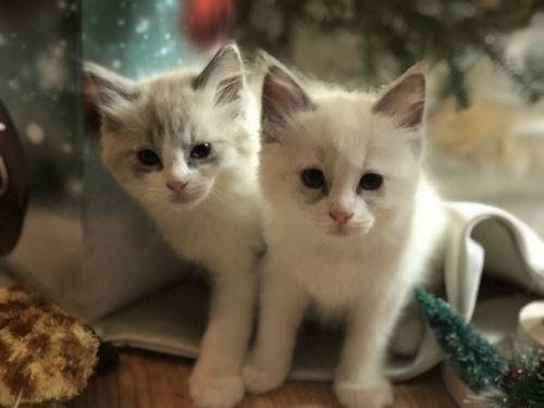 Ragdoll Cats for sale in Fitzwilliam, NH, USA. price 1100USD