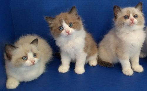 Ragdoll Cats for sale in West Pasco, WA 99301, USA. price 1200USD