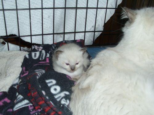 Ragdoll Cats for sale in Crivitz, WI, USA. price 600USD