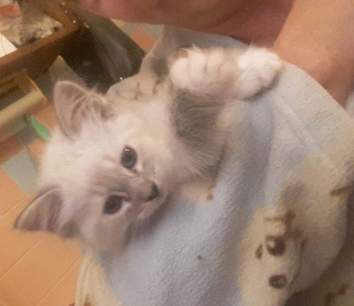 Ragdoll Cats for sale in Kansas City, KS, USA. price 500USD