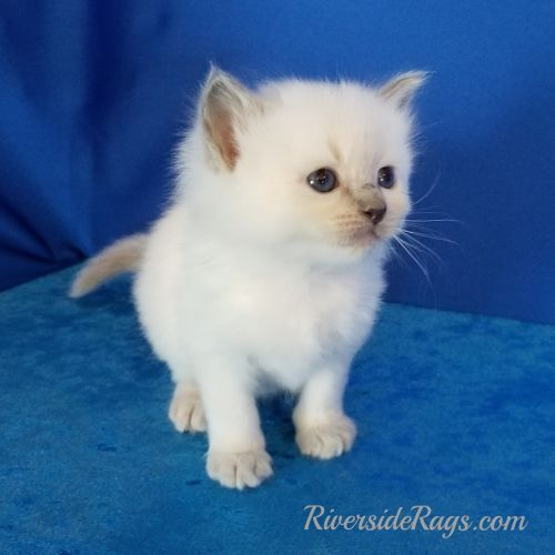 Ragdoll Cats for sale in West Pasco, WA 99301, USA. price 1300USD