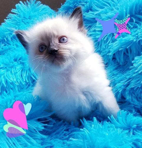 Ragdoll Cats Sale | Kissimmee Vineland Road, FL #438