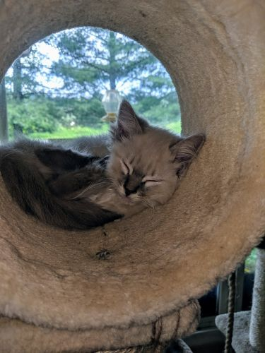 Ragdoll Cats for sale in KY-56, Kentucky, USA. price 500USD