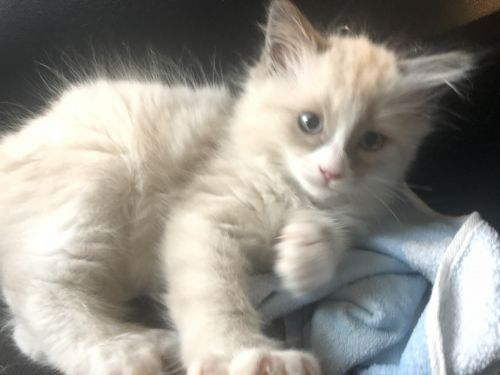 Ragdoll Cats for sale in Eugene, OR, USA. price 550USD