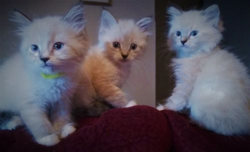 Ragdoll Cats for sale in Kennett, MO 63857, USA. price 450USD