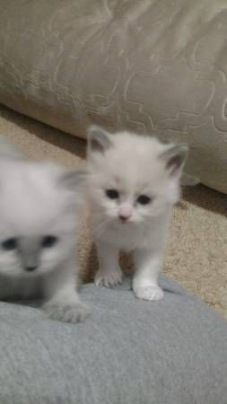 Ragdoll Cats for sale in Bridgeport, CT 06604, USA. price 200USD