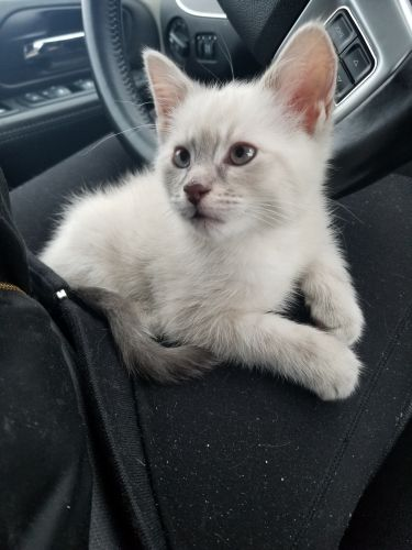 Ragdoll Cats for sale in Ithaca, MI 48847, USA. price 300USD