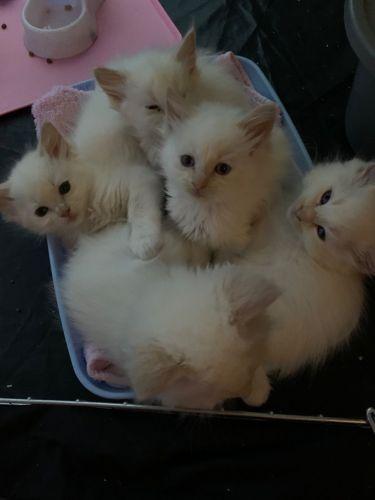 Ragdoll Cats for sale in Boston, MA, USA. price 300USD