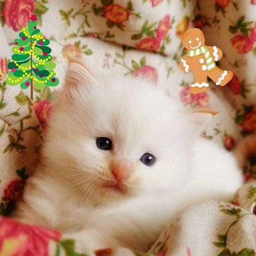 Ragdoll Cats for sale in California City, CA, USA. price 300USD
