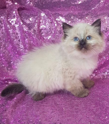 Ragdoll Cats for sale in Las Vegas, NV, USA. price 300USD