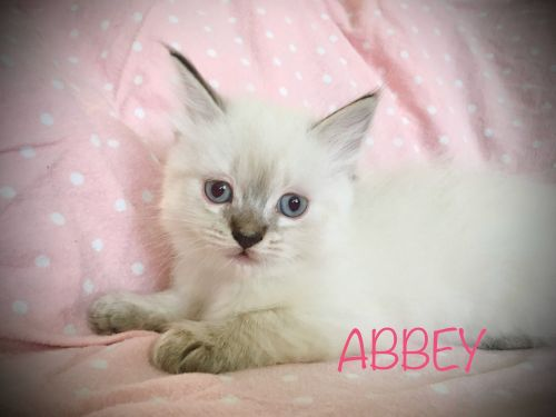 Ragdoll Cats for sale in Narvon, PA 17555, USA. price 900USD