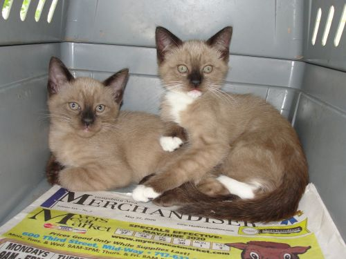 Ragdoll Cats for sale in Gettysburg, PA 17325, USA. price 350USD