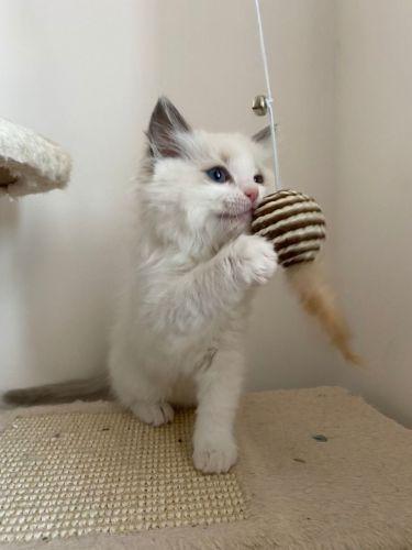 Ragdoll Cats for sale in California City, CA, USA. price 500USD
