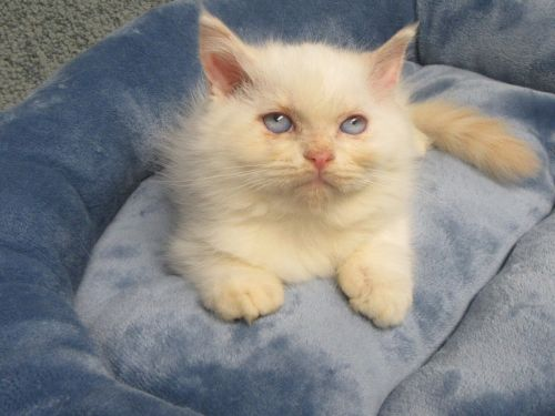 Ragdoll Cats for sale in Farmington Hills, MI, USA. price 600USD