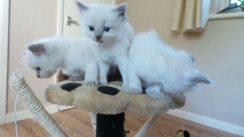 Ragdoll Cats for sale in NV-592, Las Vegas, NV, USA. price 210USD
