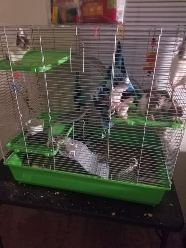 Rat Rodents for sale in Tampa, FL 33614, USA. price 100USD