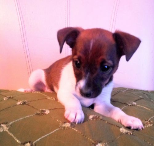 Rat Terrier Puppies for sale in Fenton, MI, USA. price 175USD