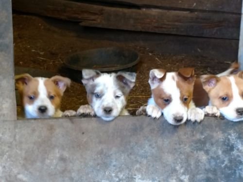 Red Heeler Puppies for sale in Dallas, OR 97338, USA. price 400USD
