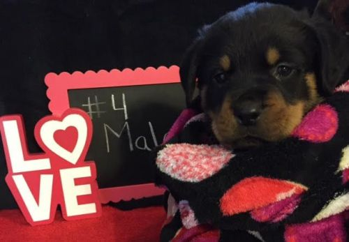 Rottweiler Sale Maryland Hooblyus
