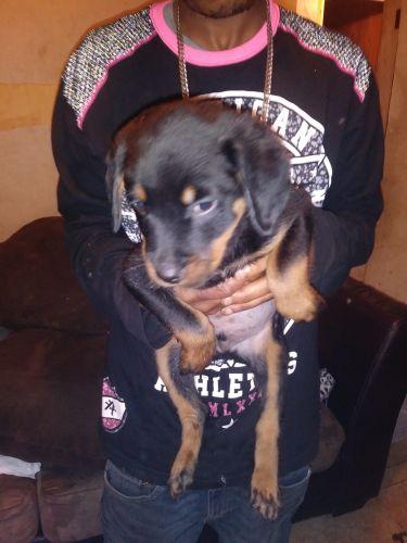 Rottweiler Puppies for sale in Texarkana, AR 71854, USA. price 500USD