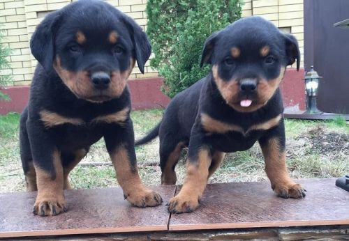 Rottweiler Puppies Sale Houston Tx 644 Hooblyus