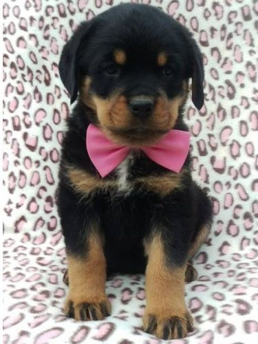 Rottweiler Puppies Sale Orlando Fl 515 Hooblyus