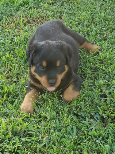 Rottweiler Puppies Sale | Birmingham, AL #3105 | Hoobly US
