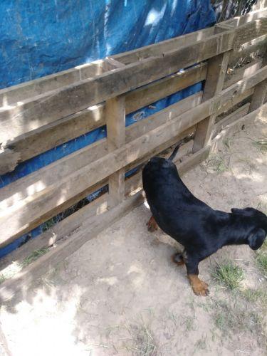 Rottweiler Puppies for sale in Texarkana, AR 71854, USA. price -USD