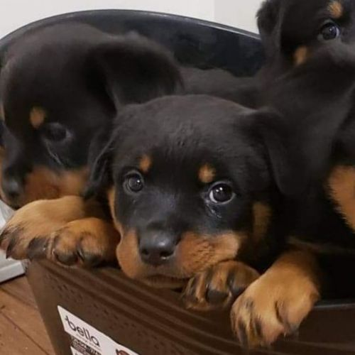 Rottweiler Puppies for sale in Tulsa, OK, USA. price 600USD