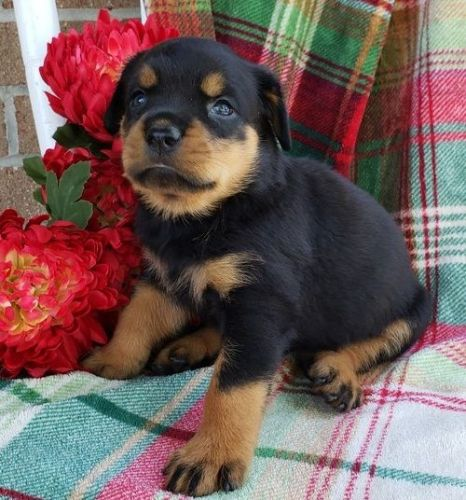 Rottweiler Puppies for sale in Phoenix, AZ, USA. price -USD