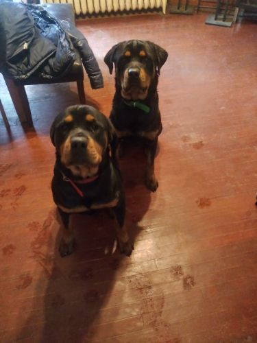 Rottweiler Puppies for sale in St Paul, MN, USA. price 6123570000USD