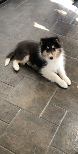 Rough Collie Puppies for sale in Rifle, CO 81650, USA. price 500USD