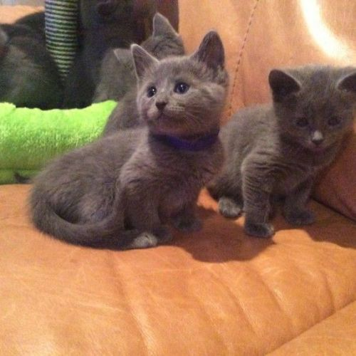 Russian Blue Cats for sale in Indianapolis, IN, USA. price -USD