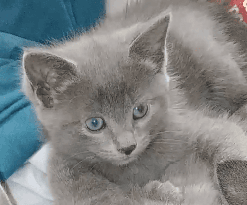 Russian Blue Cats for sale in Erie County, NY, USA. price 200USD